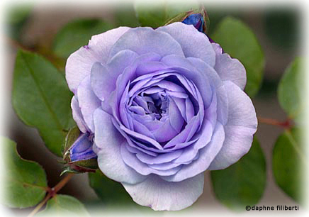 Rosegathering Symbolic Meaning Of Color In Roses