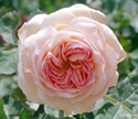 Photo gallery of david austin roses