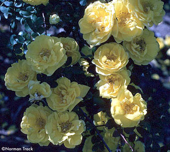 R. foetida persiana, Persian Yellow